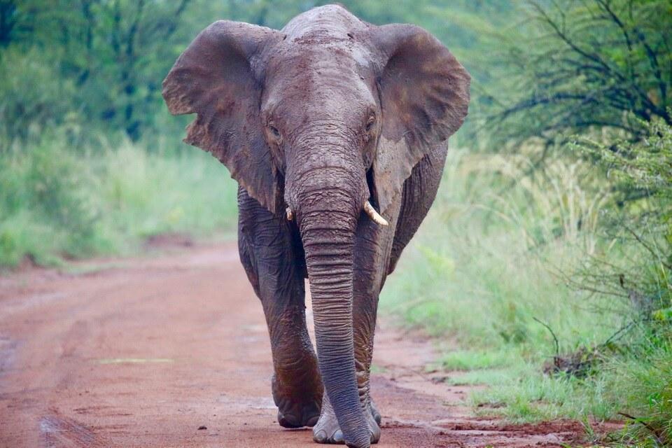 Caça ilegal e perda de habitat ameaçada espécies de elefantes da África