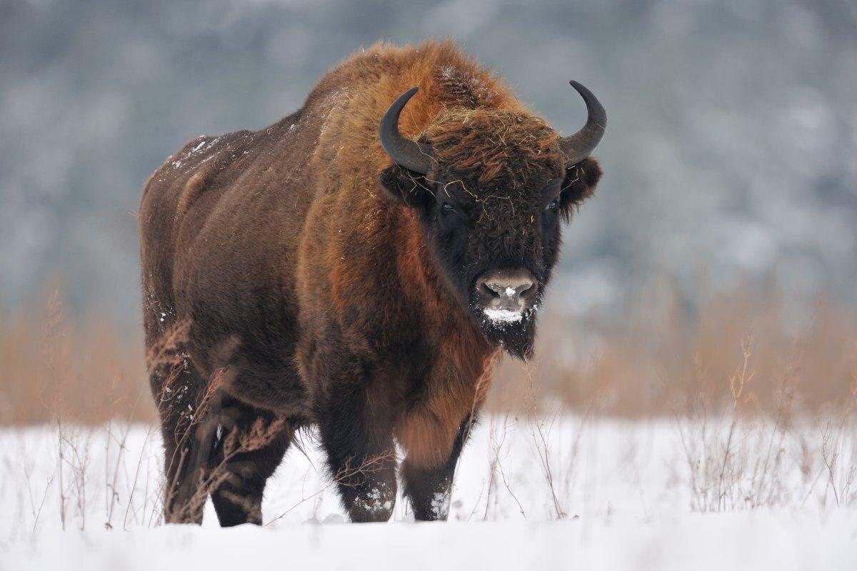 10 animais trazidos de volta da beira da extinção